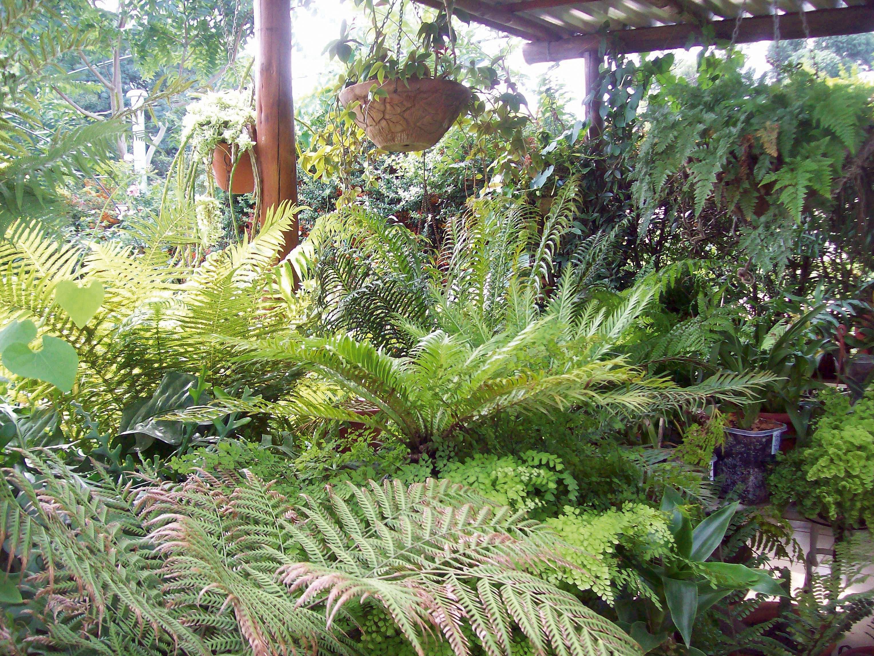 Helechos en el uruguay entrejardines for Plantas ornamentales helechos
